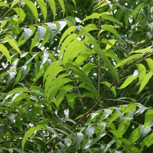 Anti-microbial activity of Neem (Azadirachta indica): By Dr Michael Traub, ND, DHANP, FABNO