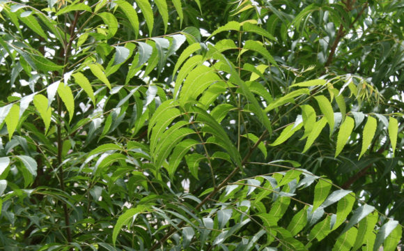 Anti-microbial activity of Neem (Azadirachta indica)
