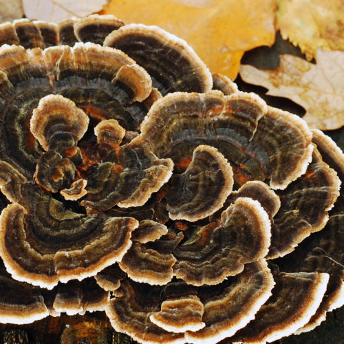 Updates on Medicinal Mushrooms for Cancer: By Dr Michael Traub, ND, FABNO